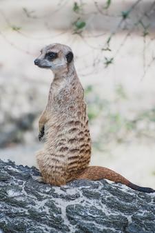 ミーアキャットスルケイトまたはsuricata suricatta。マングース科に属する小さな肉食動物-ハーペスト科。アフリカ原産のかわいい動物。