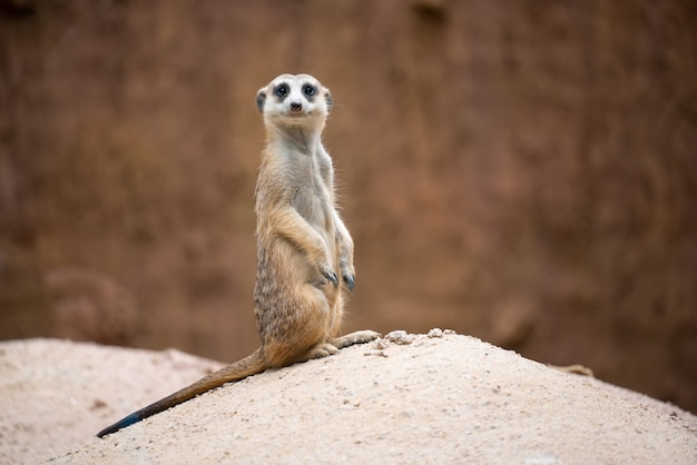 かわいいミーアキャット(suricata suricatta)