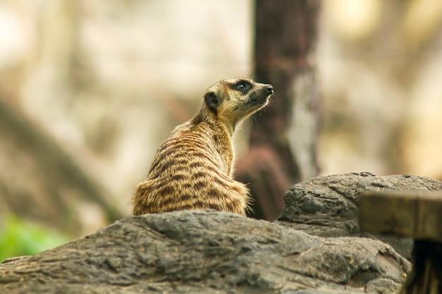 Suricata suricatta何かを見て