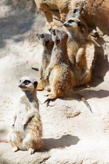 돌에 서있는 suricates