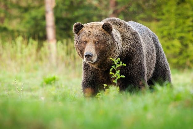 Удивленный бурый медведь приближается на зеленой поляне в летней природе.