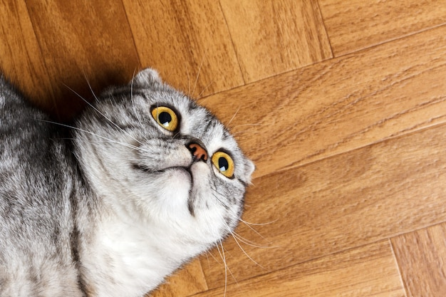 Surprised cat lying on the floor, close up.