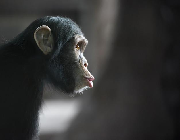 Surprised chimpanzee side head portrait