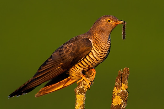 Surprised common cuckoo male holding a caterpillar