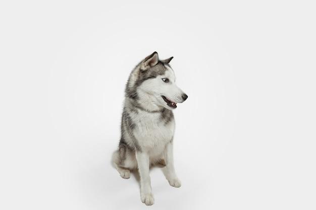 びっくり。ハスキーコンパニオンドッグがポーズをとっています。白いスタジオの背景で遊ぶかわいい遊び心のある白い灰色の犬やペット。動き、行動、動き、ペットの愛の概念。幸せ、喜び、おかしいように見えます。