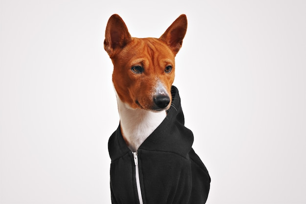 Surprised looking brown and white basenji dog in black zippered hoodie