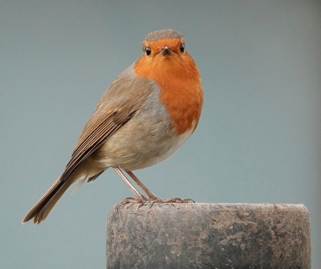Surprised robin redbreast bird looking straight at front
