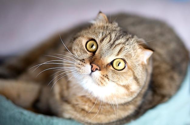 Удивленный шотландский кот крупным планом