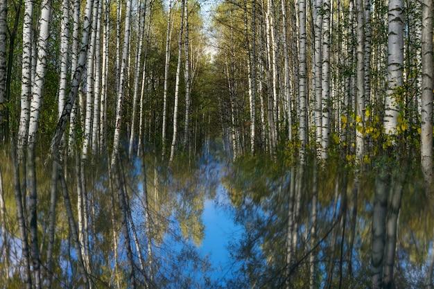 ぼやけた鏡面に映る秋の白樺の木立のあるシュールな風景