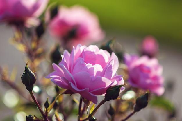 Surrey rose-핑크 장미 by kordes