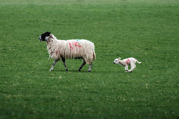 Овцы swaledale на ферме в озерном крае, шотландия