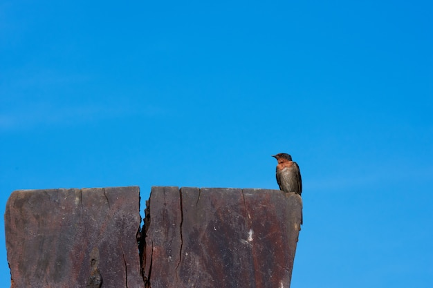A swallow bird on blue sky.