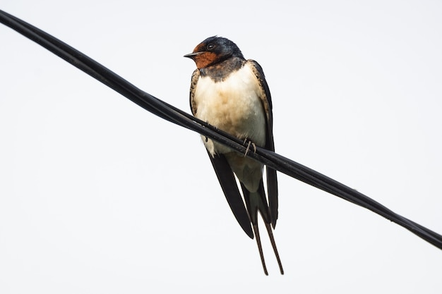 Swallow on the electric wire against the sky
