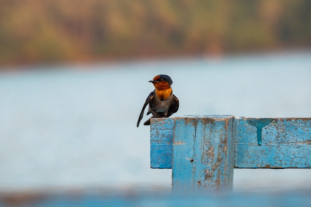 The swallow in the morning light