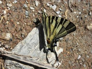 Swallow-tail butterfly, iphiclidespodali