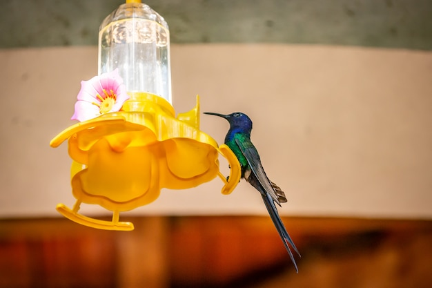 Swallow-tailed hummingbird (eupetomena macroura) feeding on a feeder in brazil coutryside