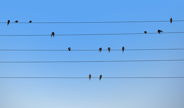 Swallows are sitting on electric wires.