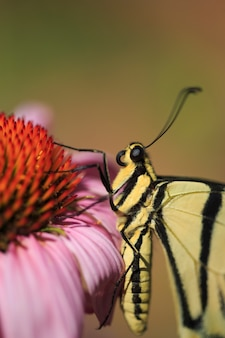 Swallowtail butterfly on echinacea flower vertical