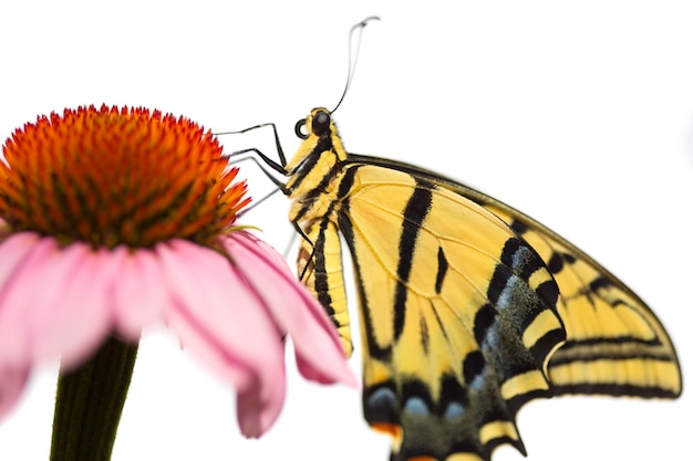 Swallowtail butterfly on echinacea flower