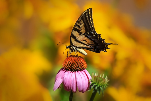 Swallowtail butterfly in flower garden with yellow flowers