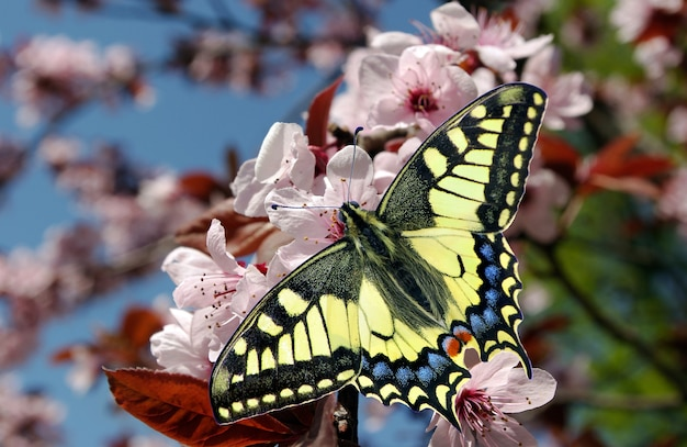 咲くピンクチェリーの枝にアゲハチョウ。咲くピンクの桜と蝶。花の咲く庭園