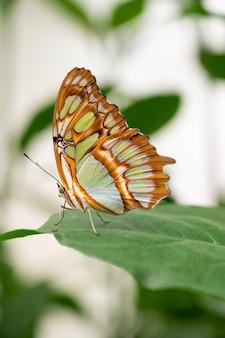 Бабочка-парусник, крупный план papilio machaon с зеленым фоном