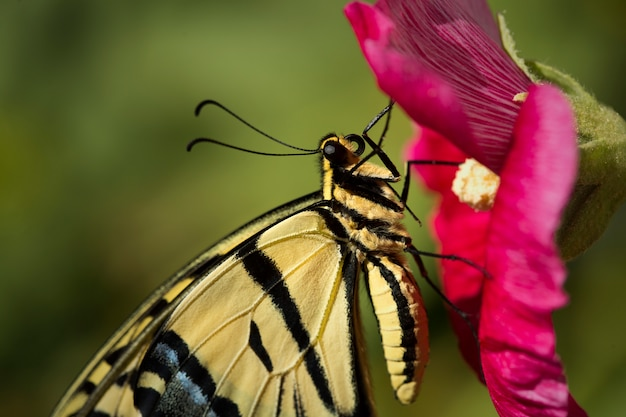 Swallowtail butterfly on red hollyhock flower closeup