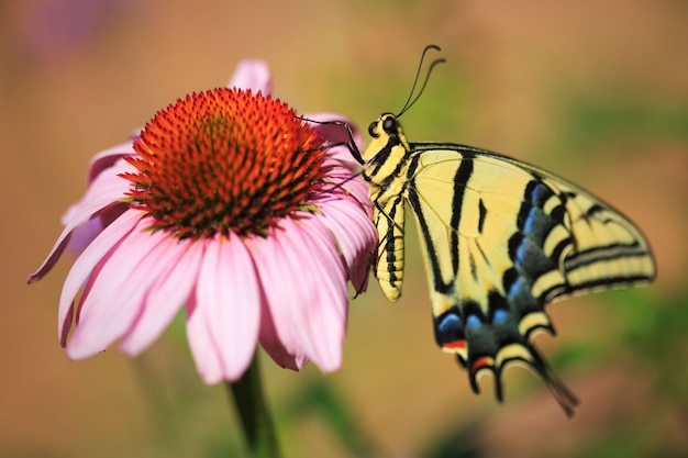 Swallowtail butterfly with echinacea flower in garden