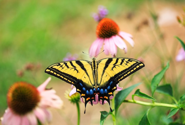 Swallowtail butterfly with echinacea