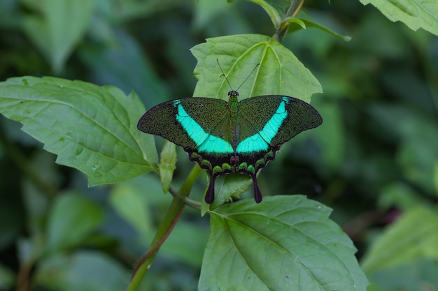 Изумрудный swallowtail бабочка на листе