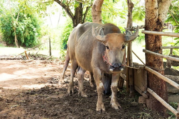 Swamp buffalo in corral. animal for help work in rice field.