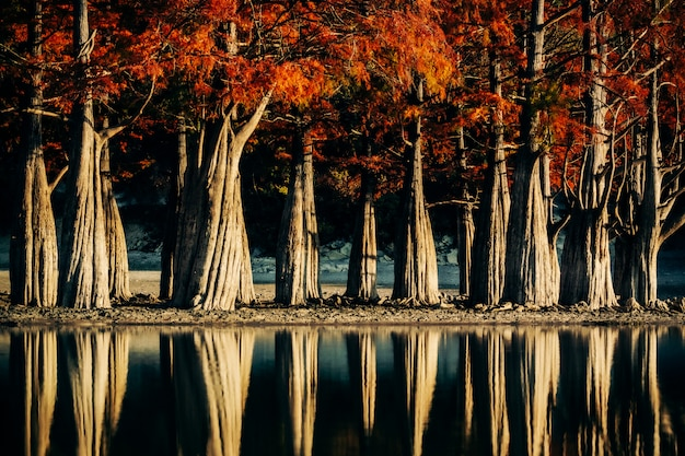 Swamp cypresses and their reflections in a shallow lake in autumn