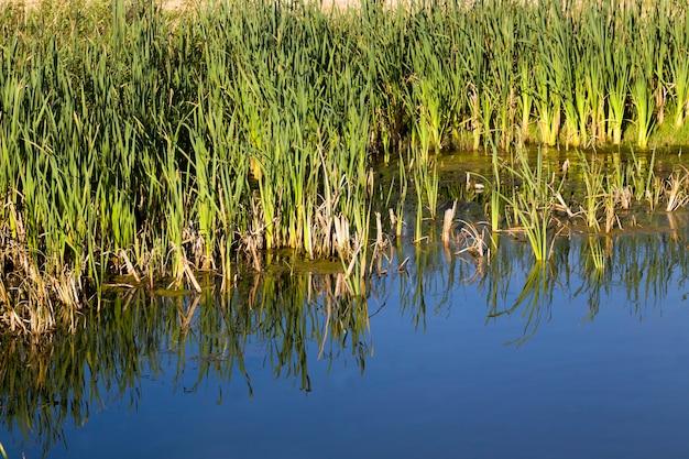 夏の緑のセッジと葦の沼沢地、クローズアップ