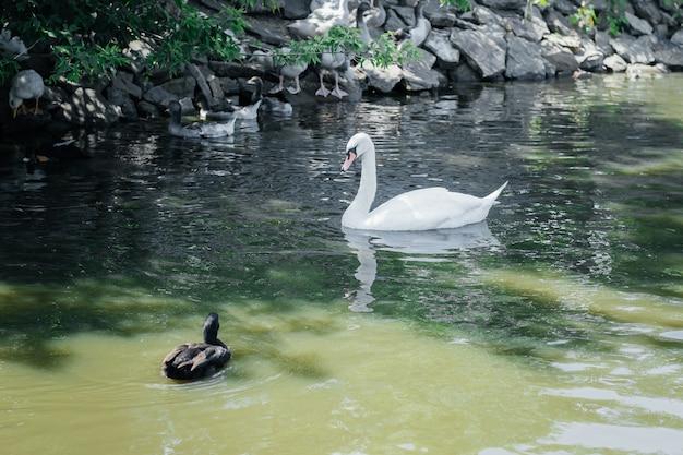 Лебедь и дикая утка плывут по реке
