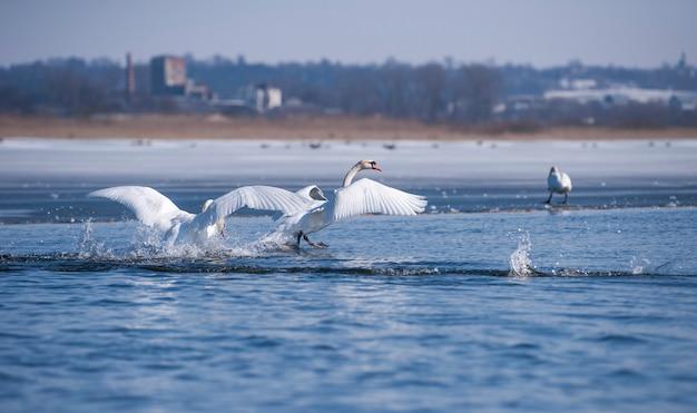 湖の波の翼で白鳥。