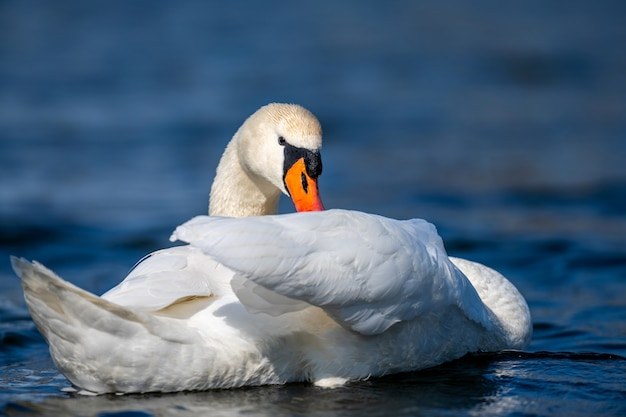 Swan on a clear deep blue river