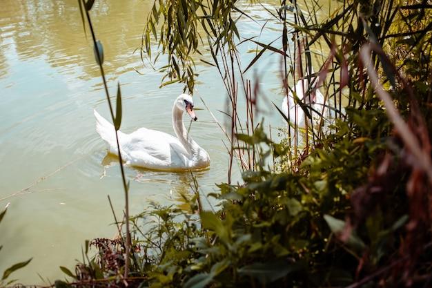 白鳥が岸辺の葦を食べ、白鳥が食事する