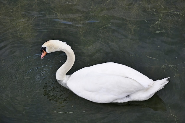Swan in the fall on the pond