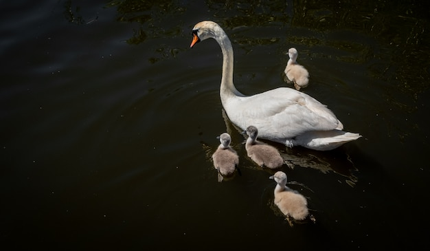 Swan family in the pond