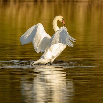 Лебедь машет крыльями стоя в воде