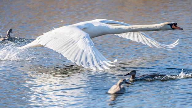 Лебедь летит в болотах ампурдана.