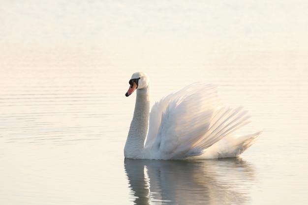 夕暮れ時に池の白鳥