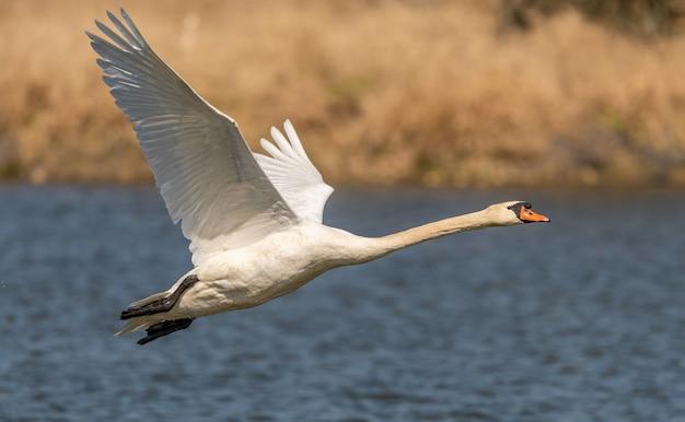 白鳥、水面下、野生動物