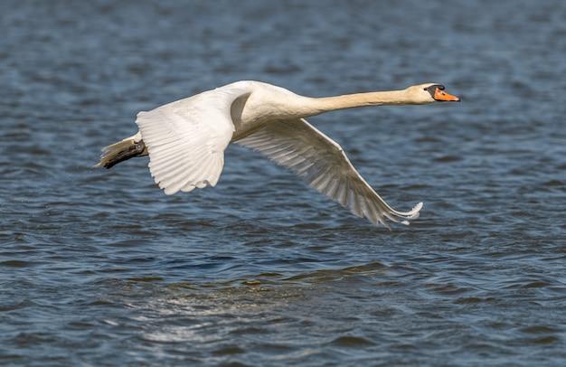 Лебедь в полете над водой, животное дикой природы