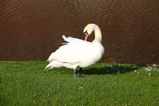 Лебедь в замке кронборг, дания, северное море