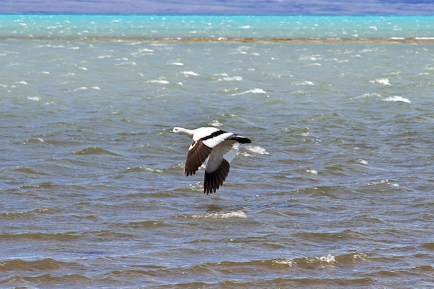 Лебедь в лагуна нимес резерва в эль калафате, патагония, аргентина