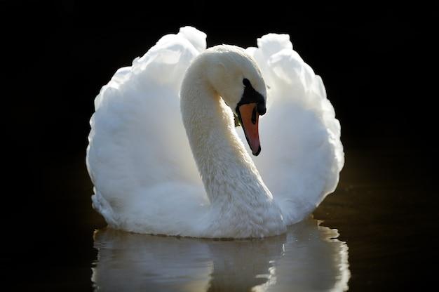 湖のクローズアップの白鳥