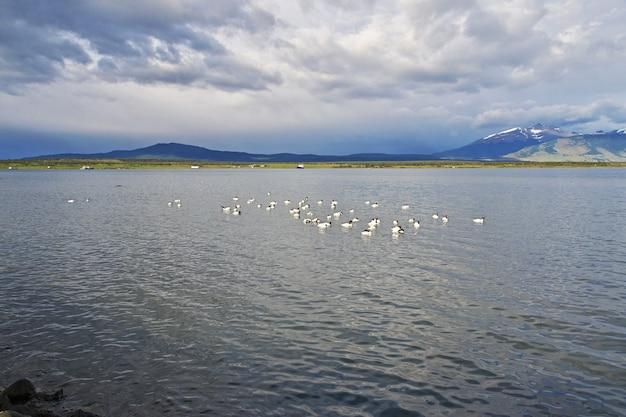 칠레의 푸에르토 나 탈레스에있는 백조
