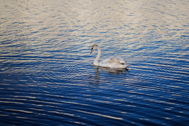 Лебедь в голубой воде