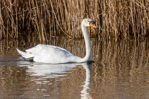 Лебедь в болотах ампурдана.